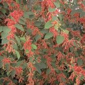 Fallopia japonica 'Crimson Beauty'