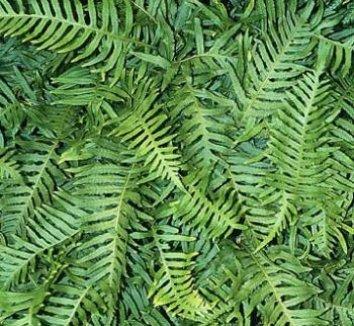 Polypodium vulgare 'Uulong Island' 1