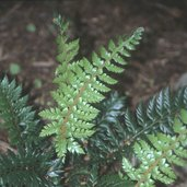 Polystichum 'Spiny Holly'