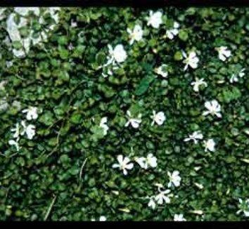 Lobelia angulata 1 flower