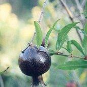 Punica granatum 'Eight Ball'