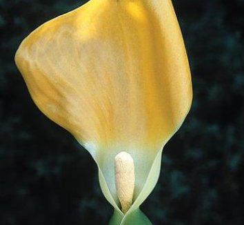 Remusatia vivipara 1 flower