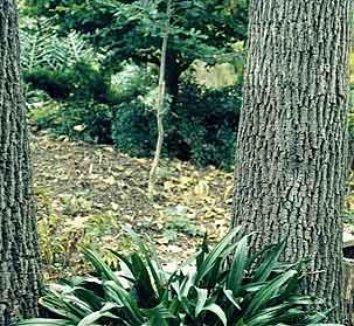 Rohdea japonica 1 form