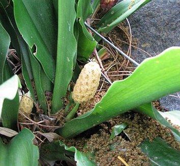 Rohdea japonica 8 flower