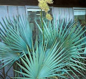 Sabal minor 'Emerald Island Giant' 1 flower, form