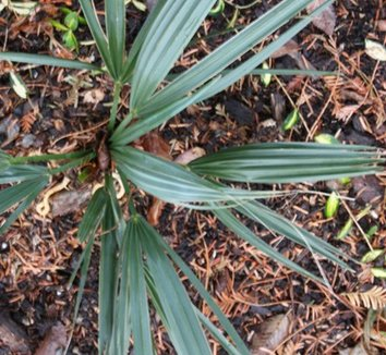Sabal minor 'Blountstown Dwarf' 1
