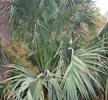 Sabal palmetto 'Tifton Hardy' 1 form