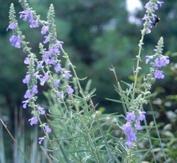 Salvia azurea 'Nekan' 1 flower