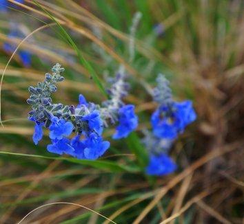 Salvia azurea 'Nekan' 6 flower