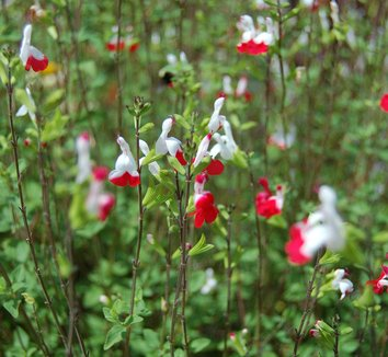 Salvia microphylla 'Hot Lips' 5 flower