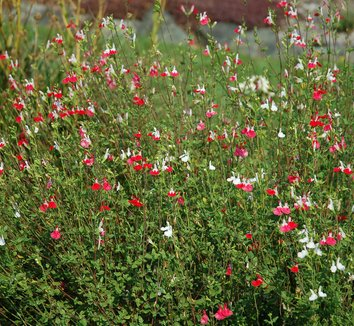 Salvia microphylla 'Hot Lips' 6 flower