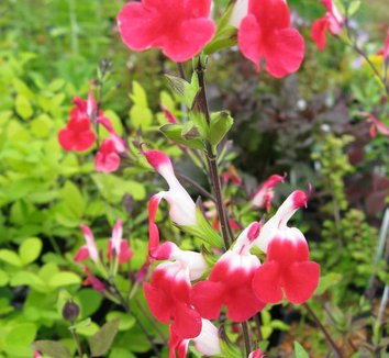 Salvia microphylla 'Hot Lips' 8 flower