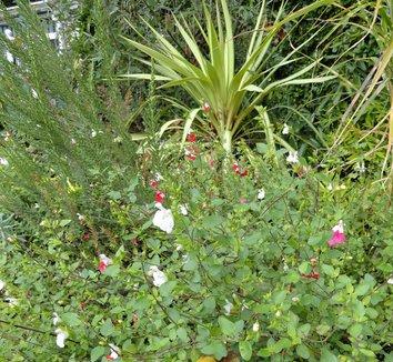 Salvia microphylla 'Hot Lips' 14 flower