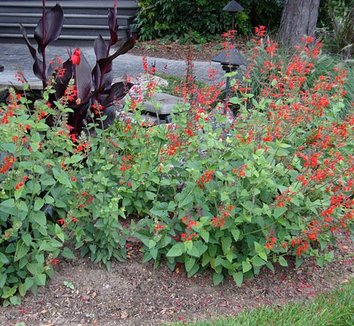 Salvia darcyi 3 form