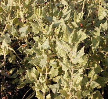 Salvia darcyi 9