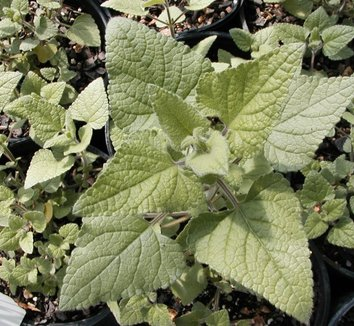 Salvia darcyi 10