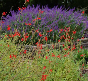 Salvia darcyi 12 flower
