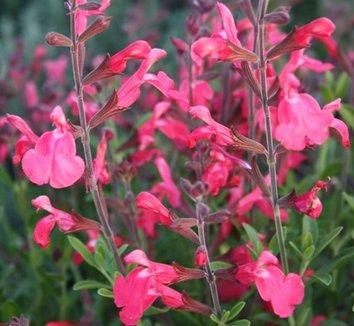 Salvia greggii 'Lipstick' 1 flower