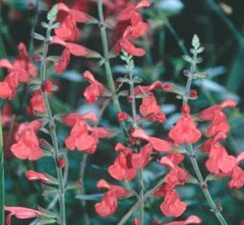 Salvia 'Silke's Dream' 1 flower