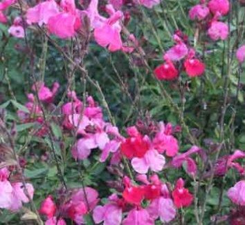 Salvia greggii 'Big Pink' 1 flower