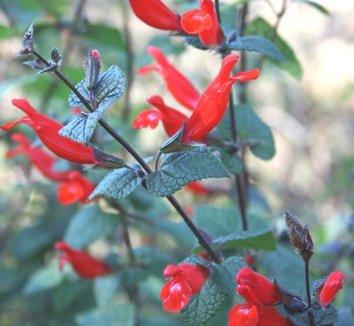Salvia disjuncta 1 flower