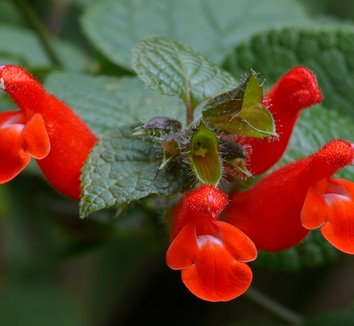Salvia disjuncta 4 flower