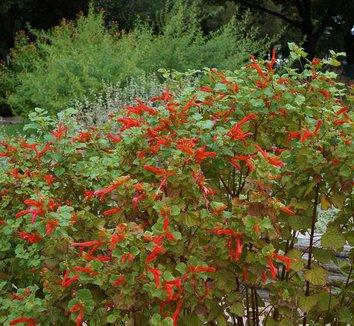 Salvia regla 'Jame' 3 flower