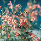 Salvia 'California Sunset'