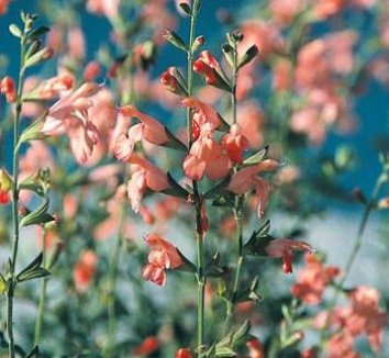 Salvia 'California Sunset' 1 flower