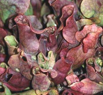 Sarracenia purpurea 1 flower