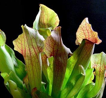 Sarracenia purpurea 5 flower, form
