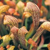 Sarracenia 'Doodlebug'