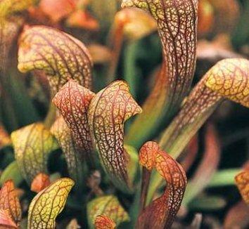 Sarracenia 'Doodlebug' 1 flower