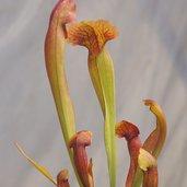 Sarracenia 'Lovebug'