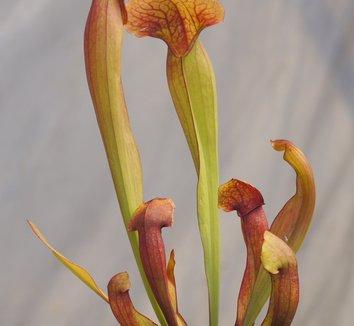 Sarracenia 'Lovebug' 1