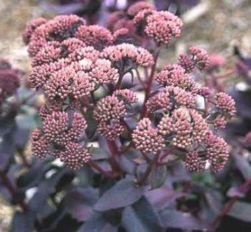 Sedum 'Purple Emperor' 1 flower