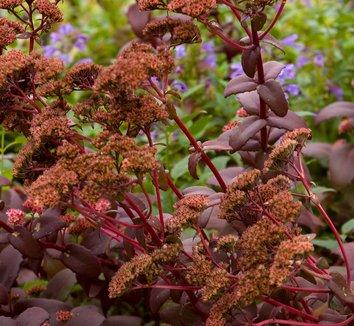 Sedum 'Purple Emperor' 4 flower