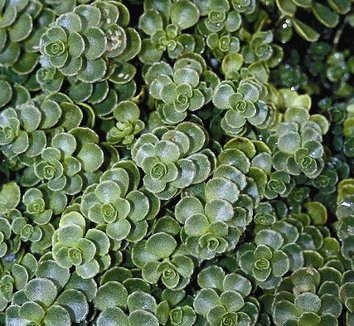 Sedum spurium 'John Creech' 1