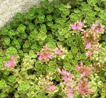 Sedum spurium 'John Creech' 11 flower