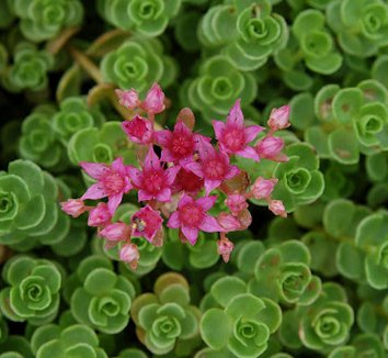 Sedum spurium 'John Creech' 12 flower
