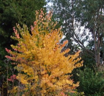 Cercidiphyllum japonicum 'Heronswood Globe' 1 form
