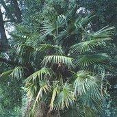 Trachycarpus fortunei [Taylor]