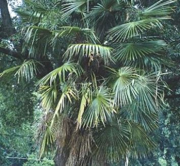 Trachycarpus fortunei [Taylor] 1 form