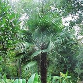 Trachycarpus 'Hayes Stiffie'