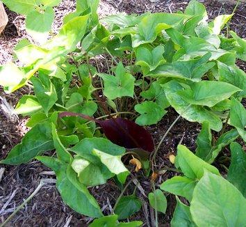 Typhonium roxburghii 4 spathe