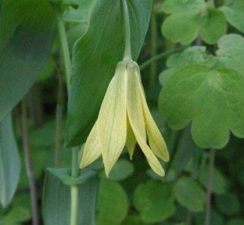 Uvularia grandiflora 4 flower