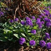 Glandularia 'Homestead Purple'