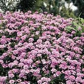 Verbena 'Blue Princess'