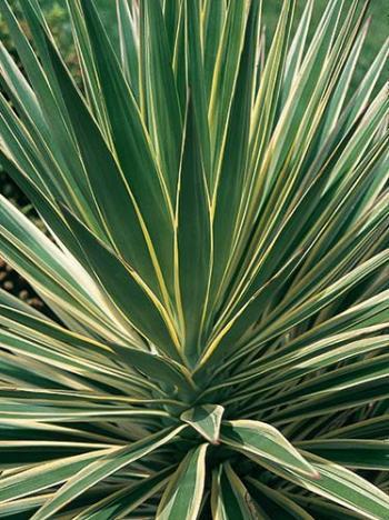 yucca aloifolia 39 variegata 39 margined spanish bayonet plant lust. Black Bedroom Furniture Sets. Home Design Ideas