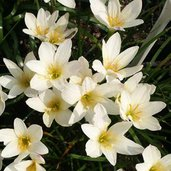 Zephyranthes 'Aquarius'